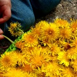 Outdoor Play: Dandelion Picking